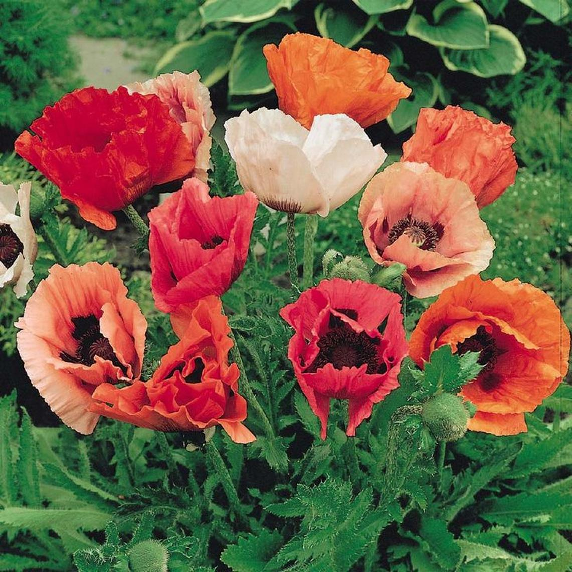 Oriental Poppy Seeds - Mixed Colors - Packet