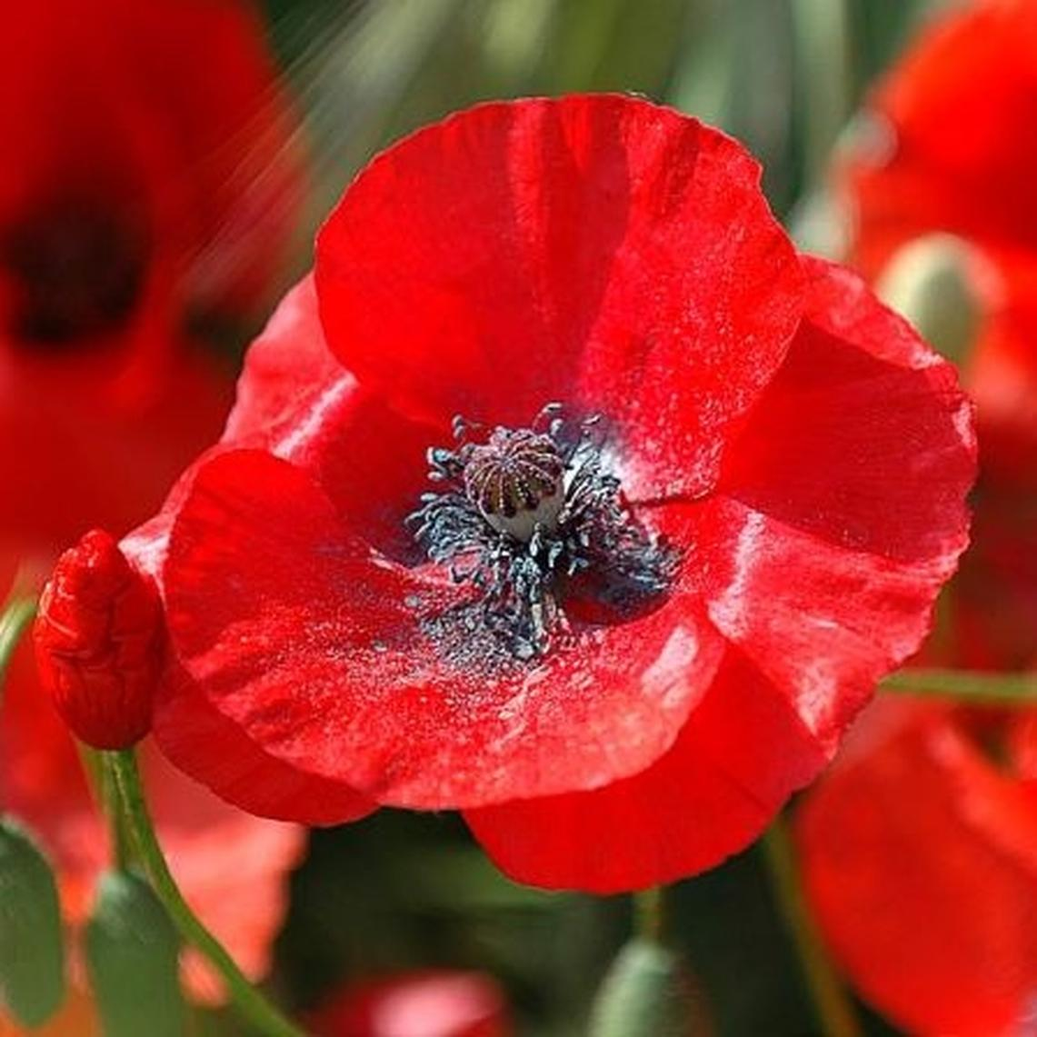 Red Corn Poppy Flower Seeds Papaver Rhoeas