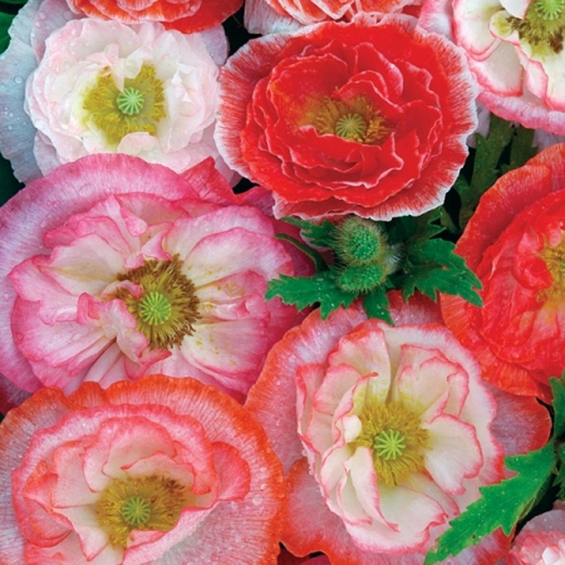 Shirley Poppy Seeds - Mixed Double