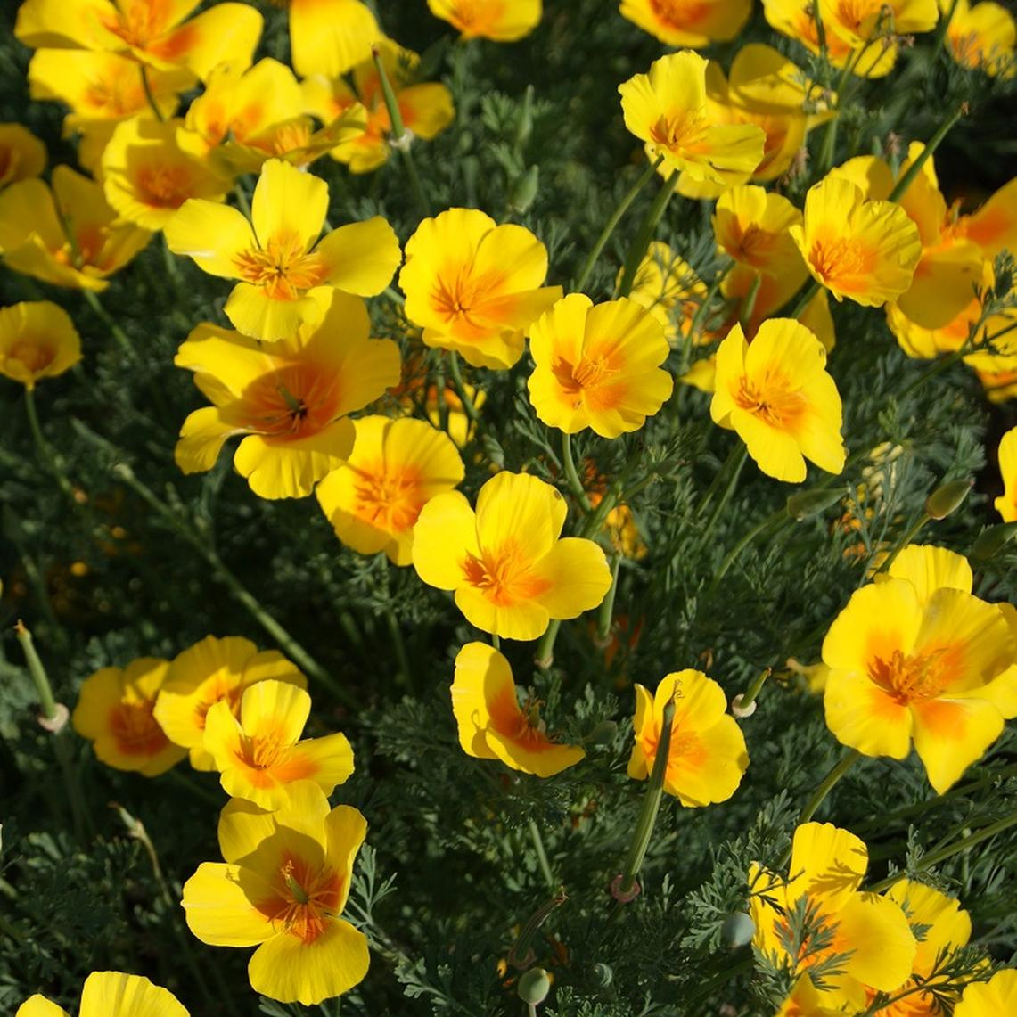 California Poppy Seeds Golden West