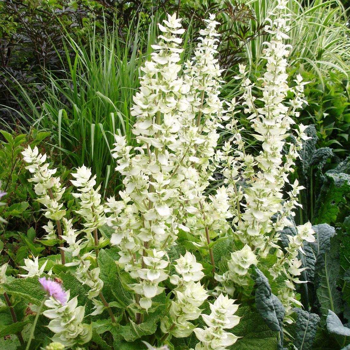 Clary Sage Seeds - White Swan