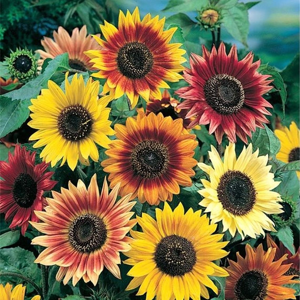 Sunflower Seeds - Autumn Beauty - Ounce