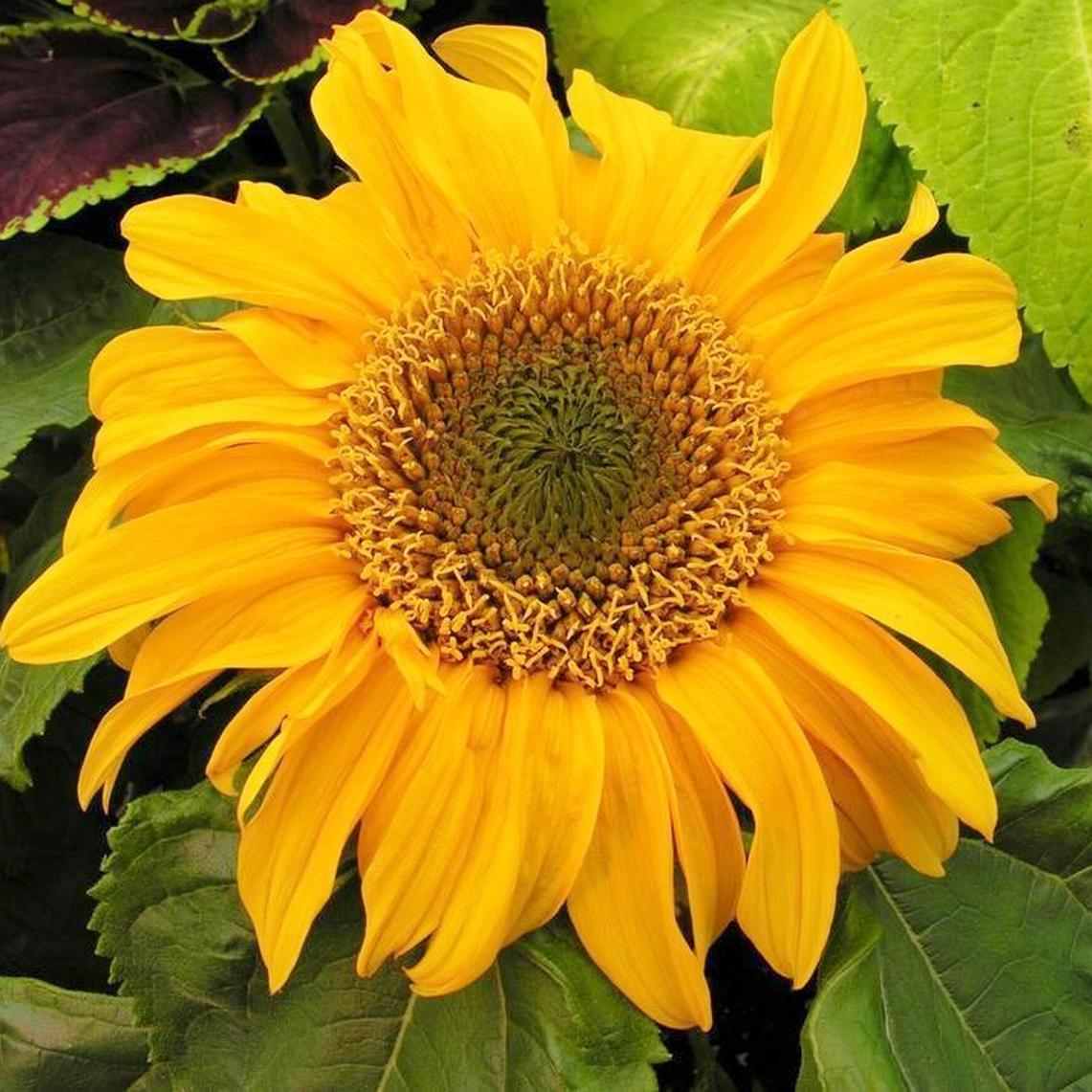 Sunflower Seeds (Dwarf) - Incredible