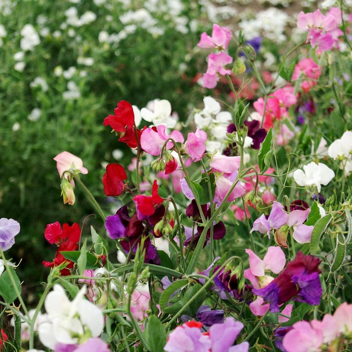 Sweet Pea Seeds - Knee-High Mix - 1 Pound