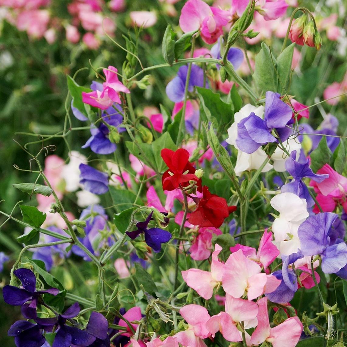 Sweet Pea Seeds - Multiflora Colorama Mix