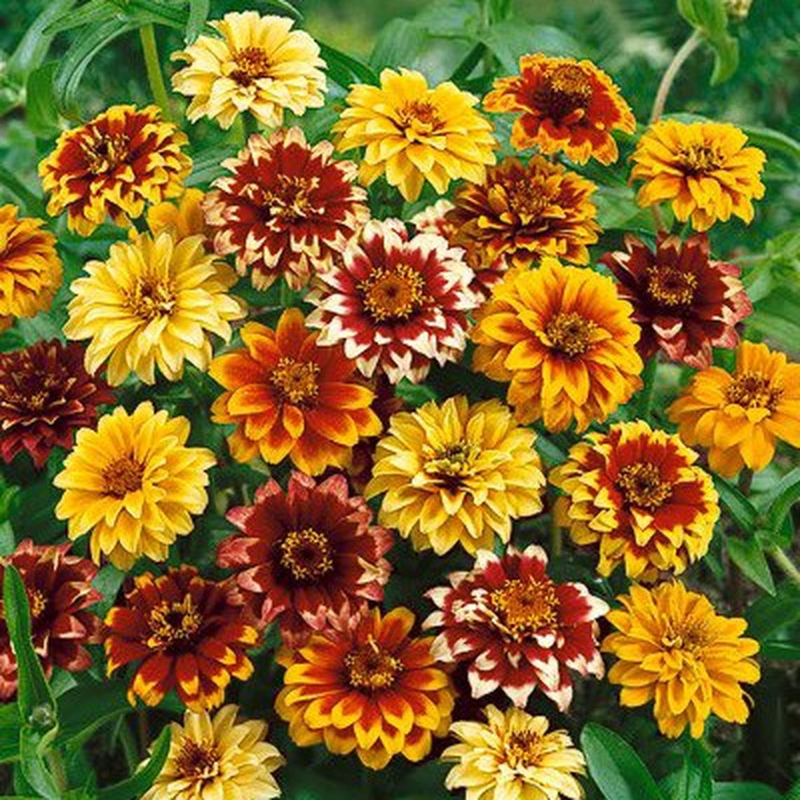 Mexican Zinnia Seeds - Persian Carpet - Packet
