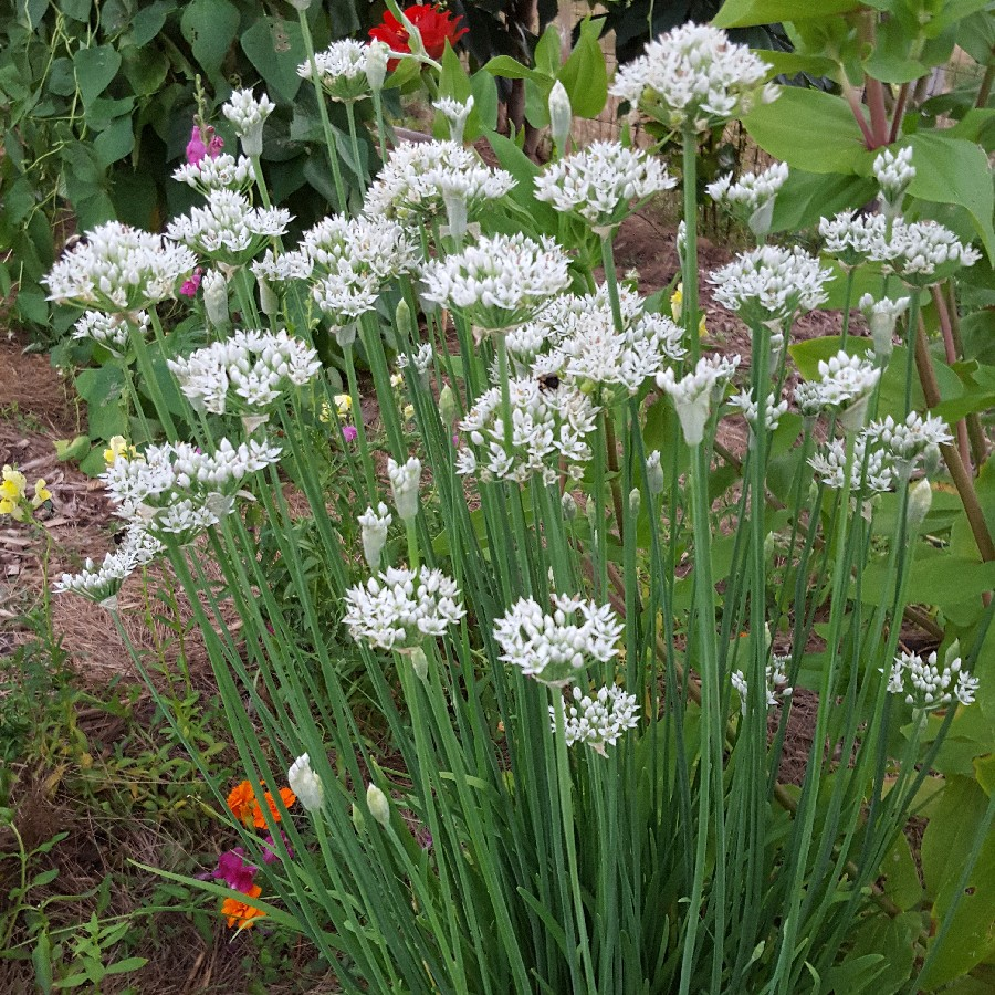 15,000 Finest Seeds PREMIER SEEDS DIRECT Garlic//Chinese Chives Bulk