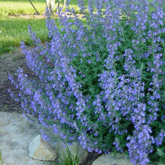 Catmint Seeds