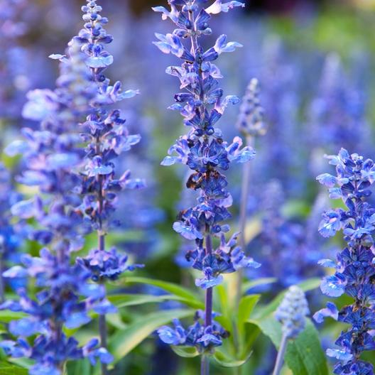 Hyssop Benefits for Colds, the Flu, Fevers, and Bronchitis