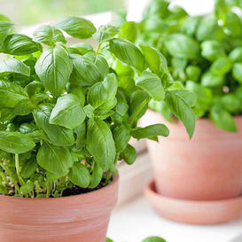 Basil Seeds - Large Sweet for Pots