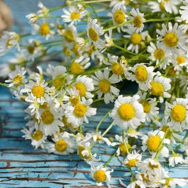 Chamomile Seeds - Roman - Packet