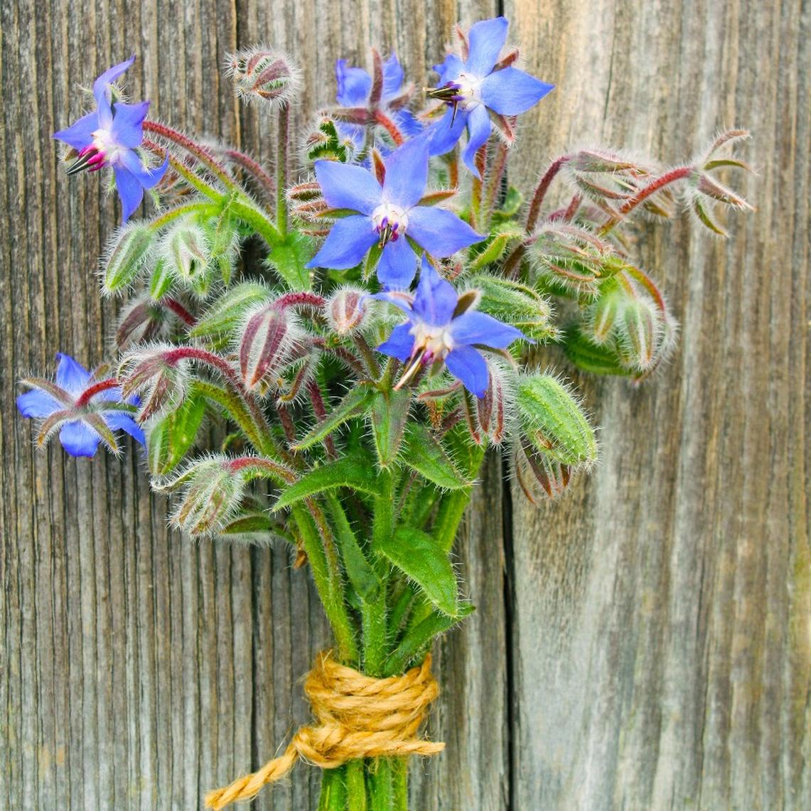 Borage Seeds - Packet