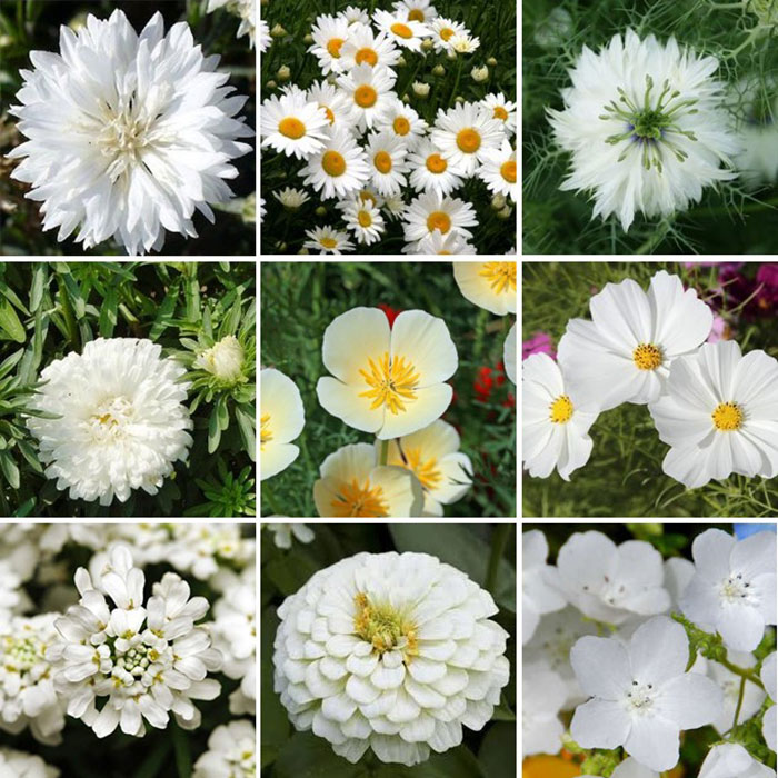 Cloud-9-White-Flower-Seed-Mix