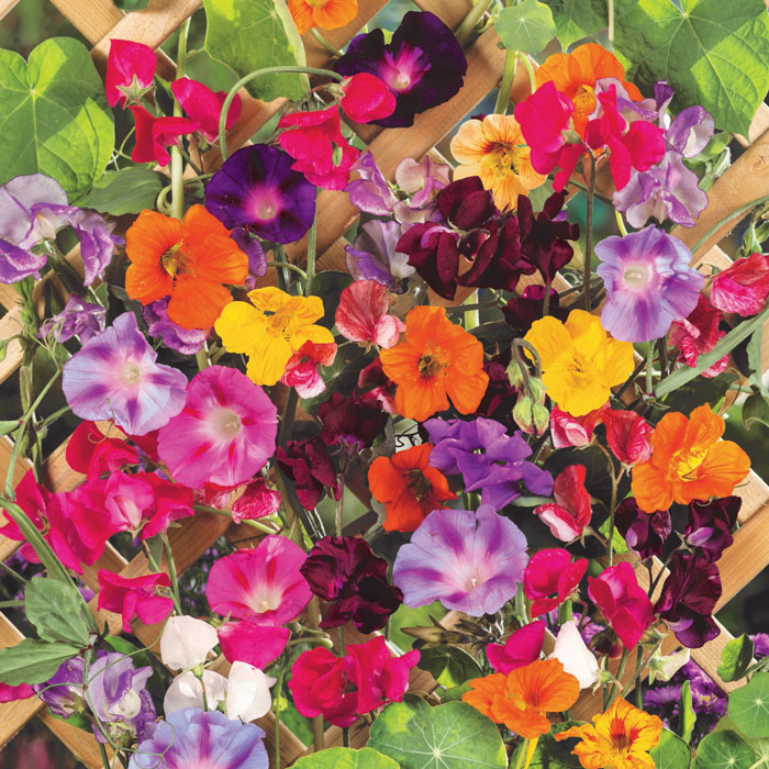Colorful-Climbers-Flower-Mix