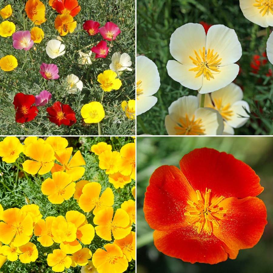 California Dreaming California Poppy Flower Seed Mix