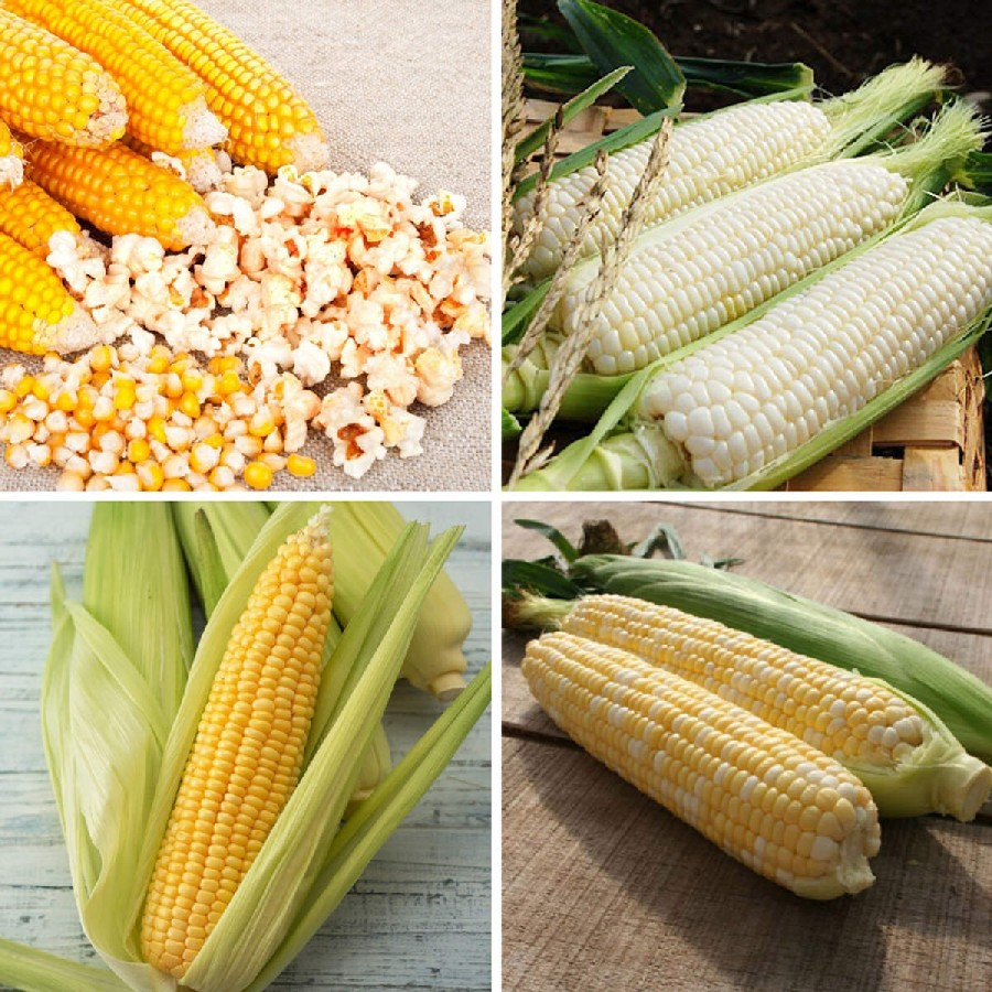 Corny - Corn Seed Collection