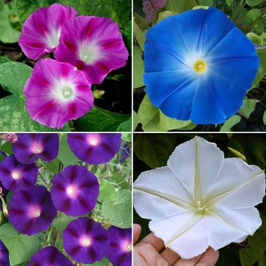 Top O The Morning Morning Glory Flower Seed Mix 4 Species Of Wildflower Seeds