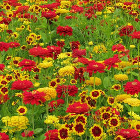 Fiery Mix - Yellow & Red Flower Seed Mix