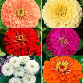Zinnia Seed Collection