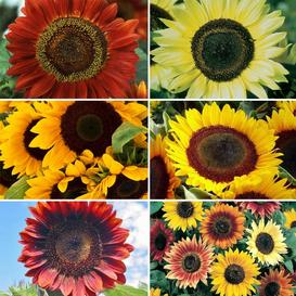 Sunflower Seed Collection