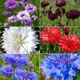Cute As A Button - Cornflower Seed Collection