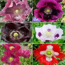 Poppy seeds poppy flower seeds for sale edenbrothers new whats poppin poppy seed collection quick view mightylinksfo