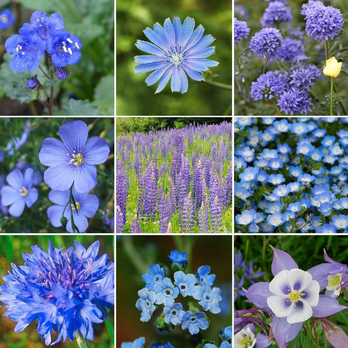 Singin The Blues Exclusive Blue Wildflower Seed Mix