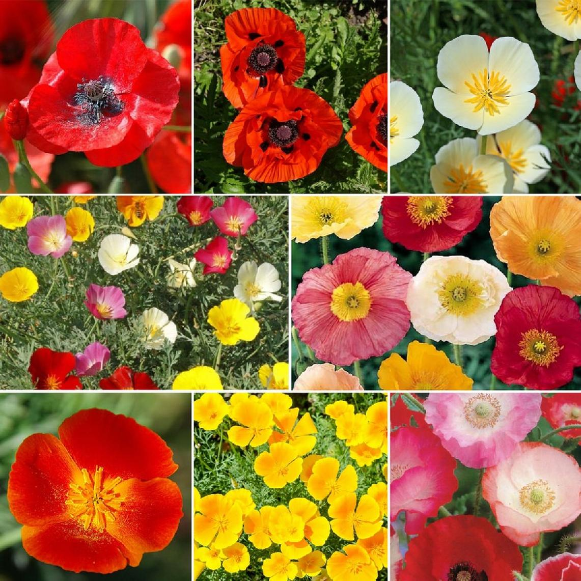 Poppy Power - Poppy Flower Seed Mix