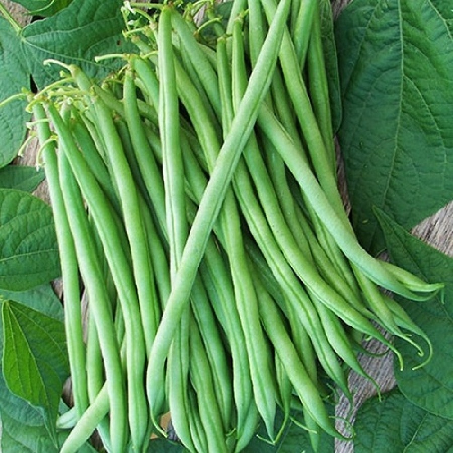 Bean Seeds (Bush) - Burpee Stringless