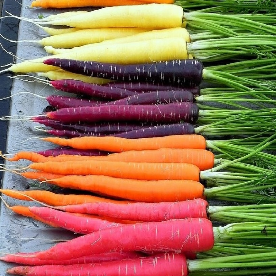 Carrot Seeds - Rainbow Blend
