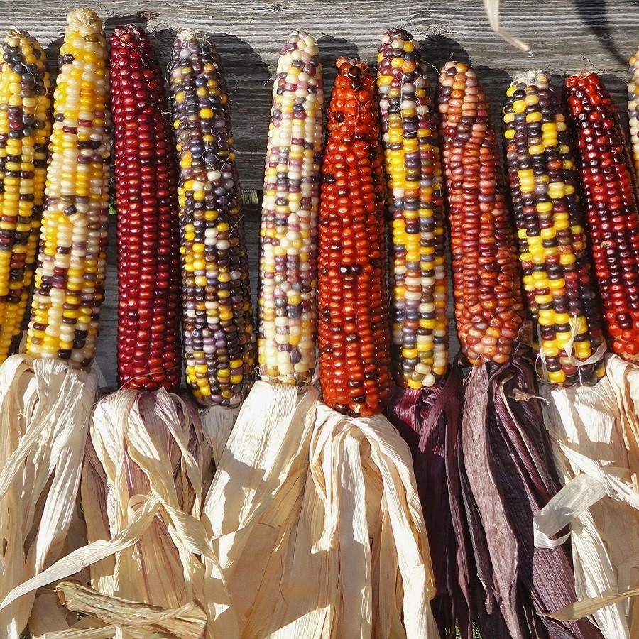 Corn Seeds - Rainbow Mix