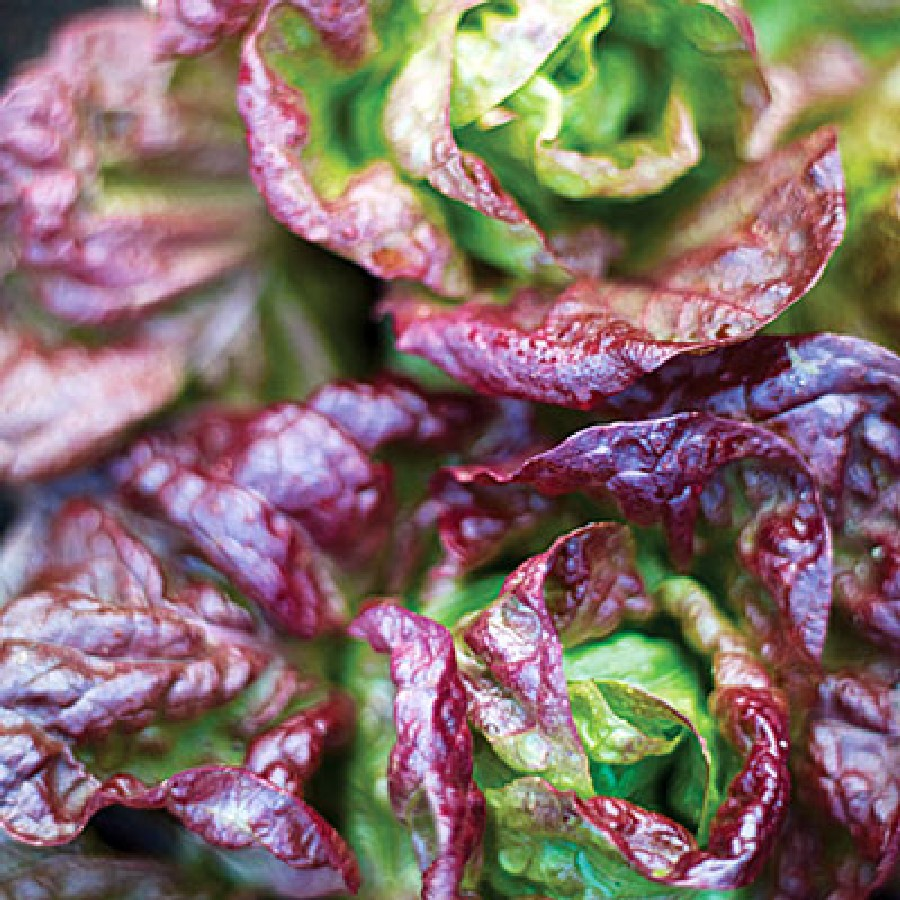 Marvel of Four Seasons Lettuce Seeds