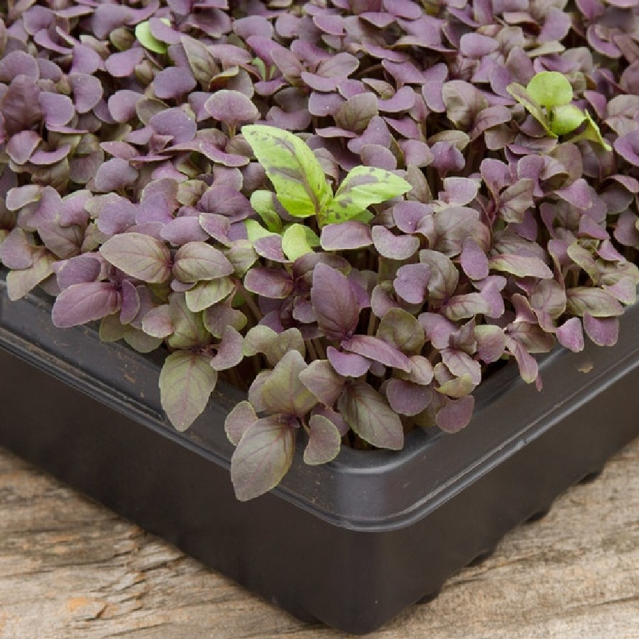 Basil Microgreens Seeds - Purple