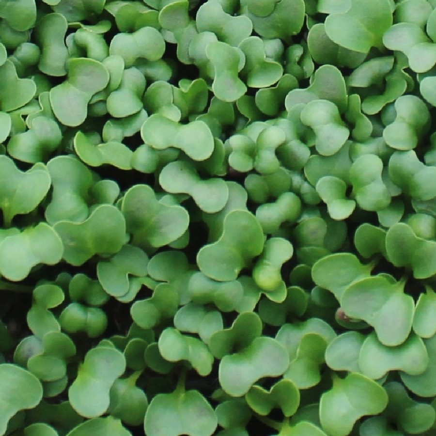Calabrese Broccoli Microgreens Seeds