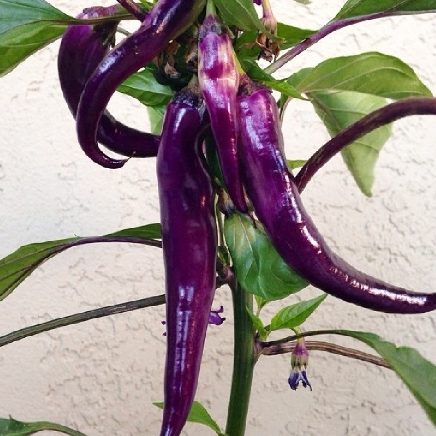 Hot Pepper Seeds - Cayenne Purple