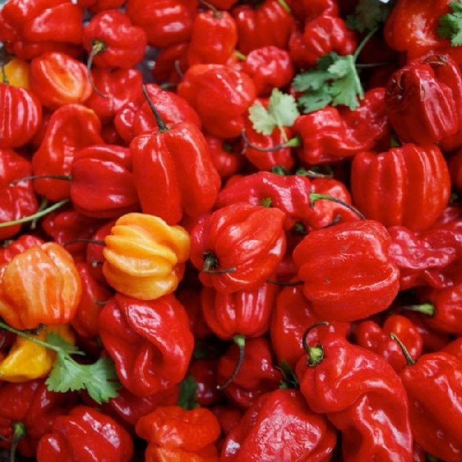 Hot Pepper Seeds - Jamaica Hot Red