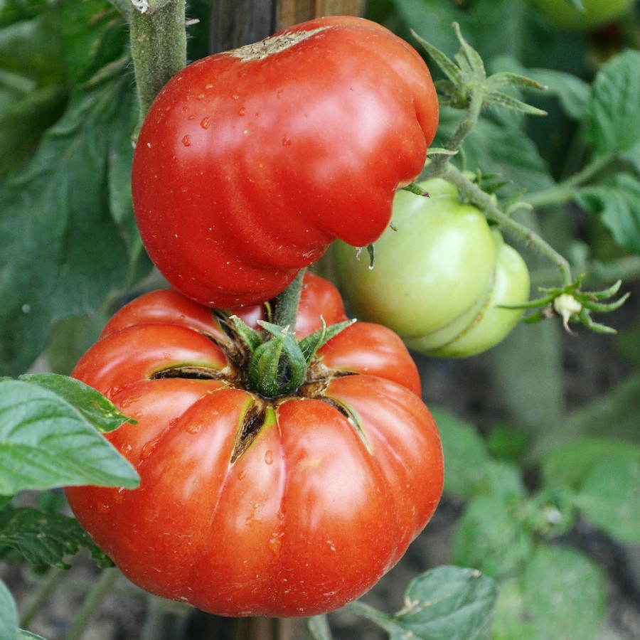 Tomato Seeds (Organic) - Mortgage Lifter