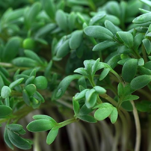 Cress Seeds Quot Curled Quot