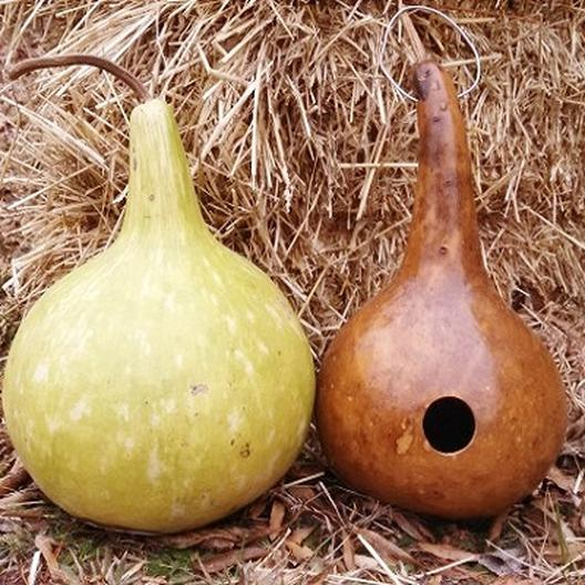 Gourd Seeds Quot Birdhouse Bottle Quot