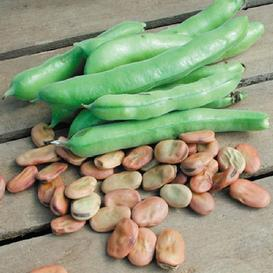 Bean Seeds (Fava) - Broad Windsor