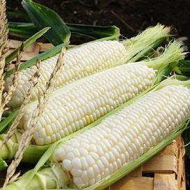 Corn Seeds - Silver Queen