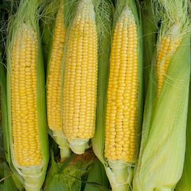 Corn Seeds - Golden Bantam 8 Row