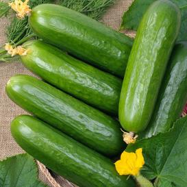 Cucumber Seeds - Marketer