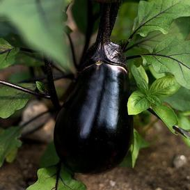 Eggplant Seeds - Black Egg