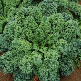 Kale Seeds - Blue Curled Scotch / Vates