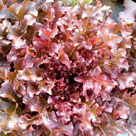 Lettuce Seeds (Organic) - Salad Bowl - Red