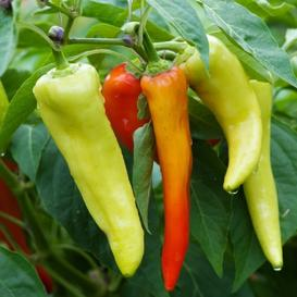Sweet Pepper Seeds - Sweet Banana