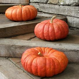 Pumpkin Seeds - Rouge Vif d'Etampes