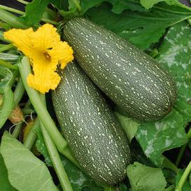 Squash (Summer) Seeds - Grey Zucchini
