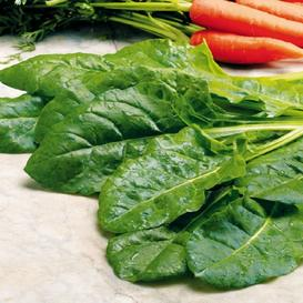 Swiss Chard Seeds - Perpetual Spinach